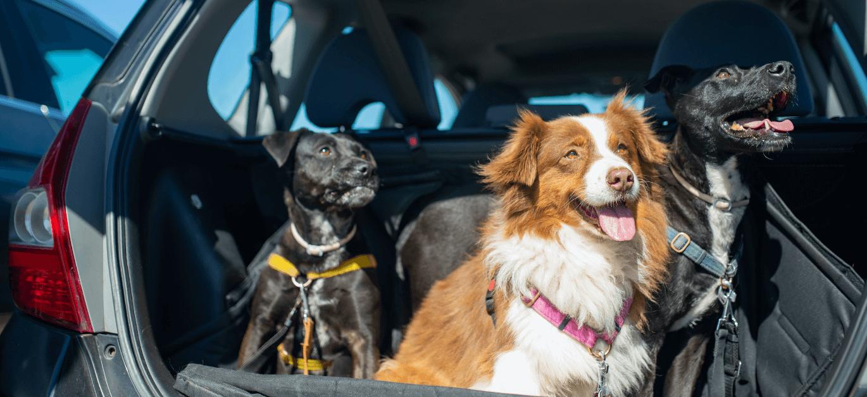 psy w aucie - jak przewozić psa w samochodzie